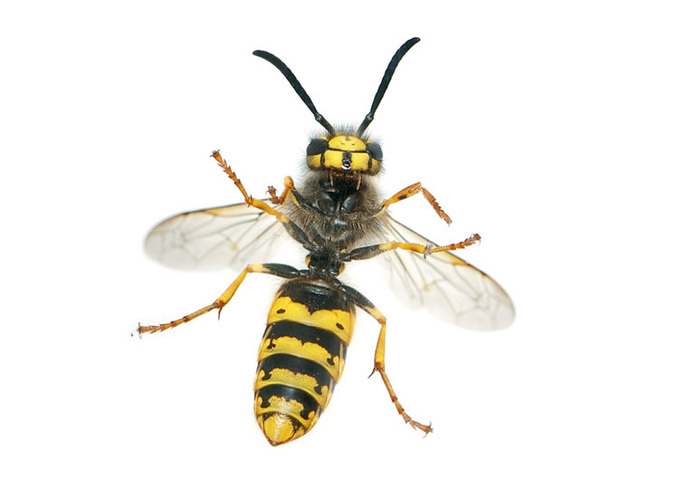 Wasp Control Heaton Norris 24/7, same day service, fixed price no extra!