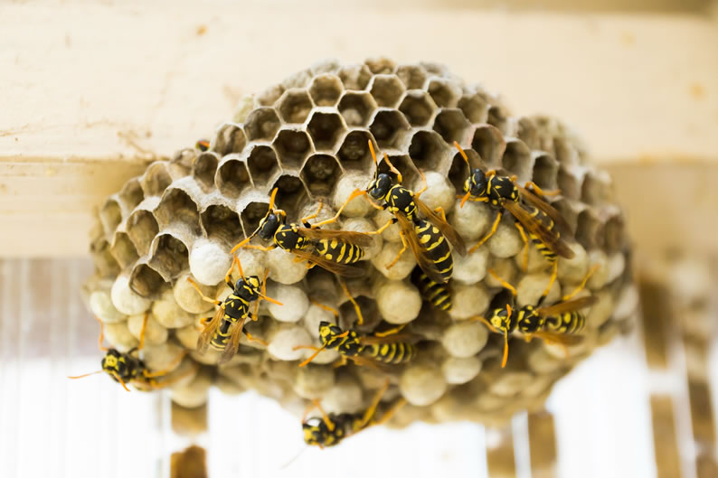 Wasp Control Heaton Norris - Wasp nest treatment 24/7, same day service, covering Heaton Norris, Stockport and cheshire, fixed price no hidden extras!